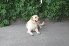 Labradorec