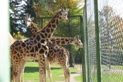 Trije žirafki