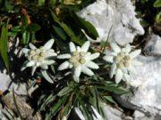 Planika (Leontopodium alpinum), naša prva zavarovana rastlina (1896), simbol planinstva