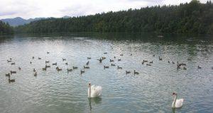 Zbiljsko jezero polno račk in labodov