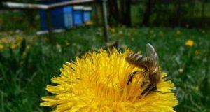 čebela