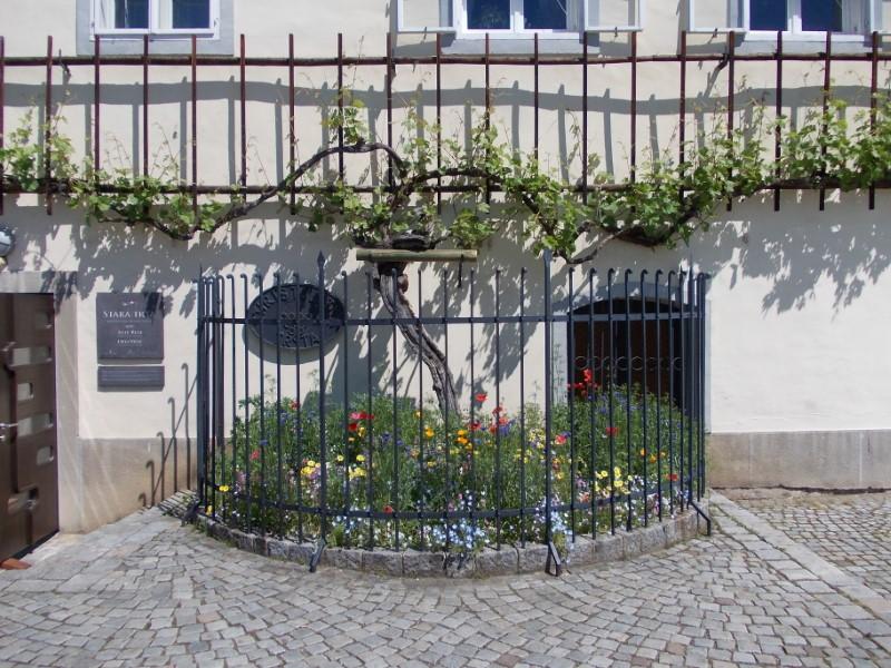 Maribor - najstarejša trta na svetu